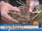 聊城:韭蛆猖狂 菜根被咬坏