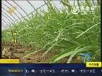 17城非常供求 滨州:50万斤有机韭菜待售
