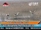 黄河三角洲自然保护区成百万候鸟越冬乐园
