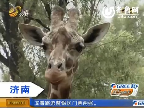 济南:长颈鹿吃粽子 端午节前有口福