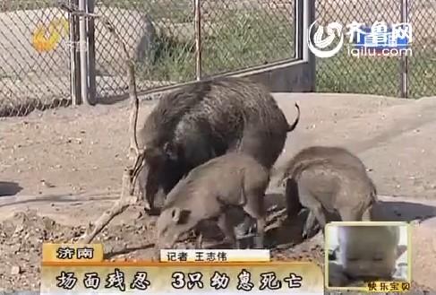 济南:济南动物园雄性野猪残忍吃下幼崽