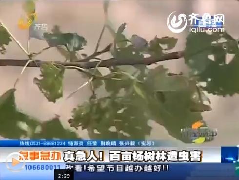 长清:百亩杨树遭虫害 发药预防未重视