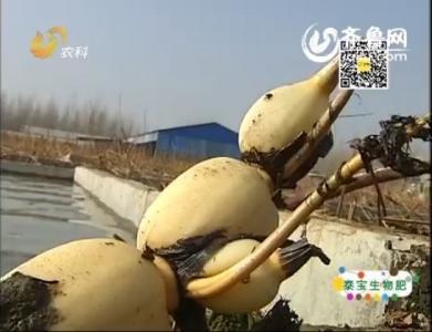 乡村新鲜事:神秘的高产莲藕——南斯拉夫雪莲藕