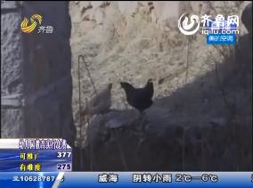 蒙阴县:禽畜丢失暴死 村民人心惶惶
