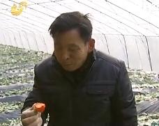 """乡村故事:""""草莓书记""""的生意经"""