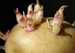 盘点比砒霜还毒的多种食物 发芽的土豆要你命!