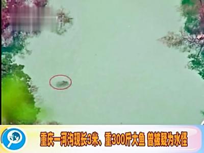 重庆现300斤大鱼 长度超过3米
