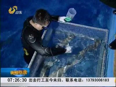 烟台:世界首例白鳍鲨产四子