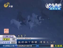 胶州:村中多条狗被凶残动物咬死 村民受惊不敢出门