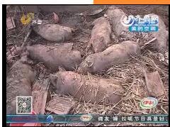 济宁:80多头猪 被烧成烤猪