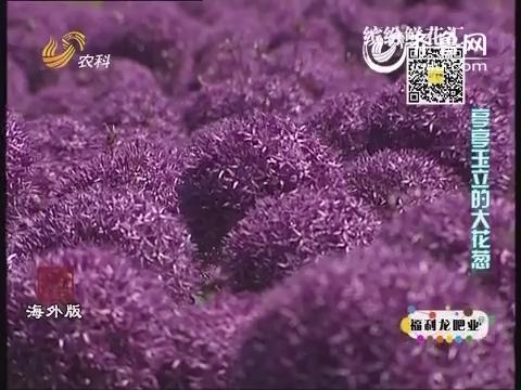 缤纷鲜花汇:亭亭玉立的大花葱