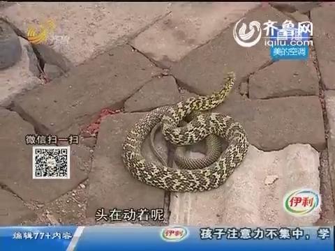 济南:忒吓人了 门口盘着两条蛇