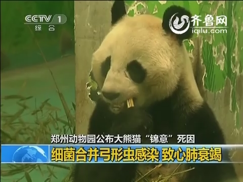 """郑州动物园公布大熊猫""""锦意""""死因 细菌合并弓形虫感染致心肺衰竭"""