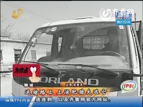 聊城:运猪路上 上演肥猪大逃亡