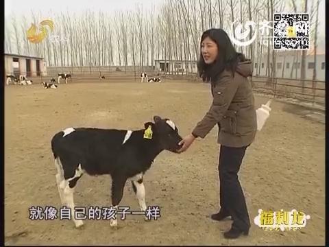 周颖:都市白领 爱上养牛