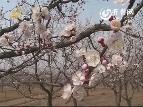 济南市第十三届杏花节正在长清区张夏镇黄家峪举办