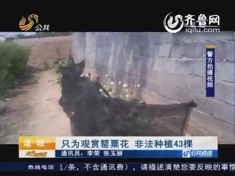 潍坊:只为观赏罂粟花 非法种植43棵