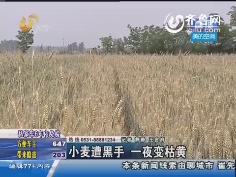 临清:小麦遭黑手 一夜变枯黄