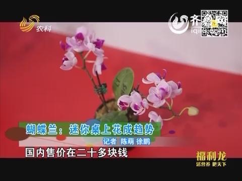 乡村季风海外版:蝴蝶兰:迷你桌上花成趋势
