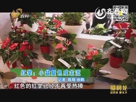 乡村季风海外版:红掌:小盆复色成主流