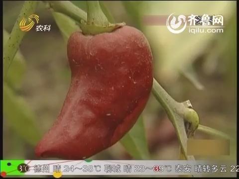 农科直播间20140530:形形色色的辣椒