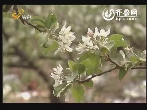 """农科直播间20140613:""""倒伞""""上的苹果"""