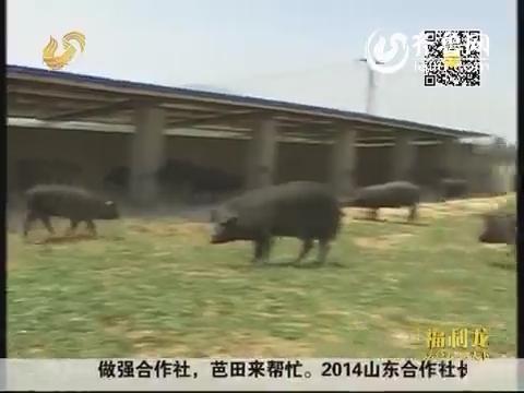 """杨波的养猪""""三部曲"""""""