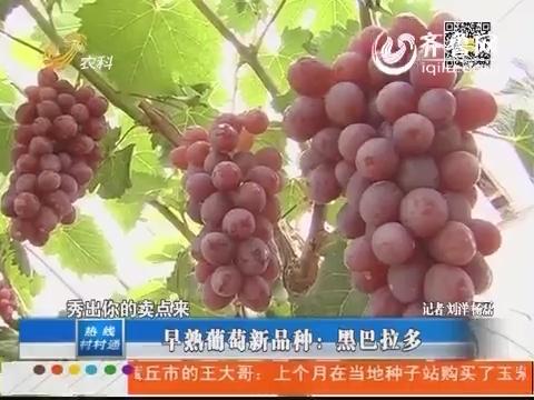 早熟葡萄新品种:黑巴拉多