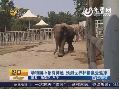 济南:动物园小象有神通 预测世界杯输赢受追捧