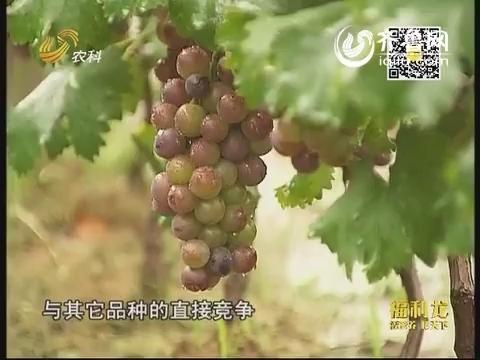 朱村葡萄上市在即