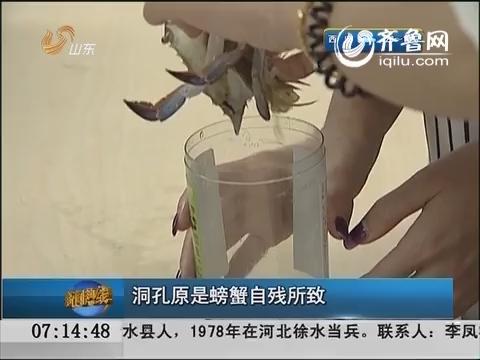 记者实验:蟹壳洞孔原是螃蟹自残所致