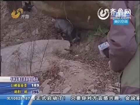 青岛:天冷食少 崂山被放生狐狸疯狂找食物