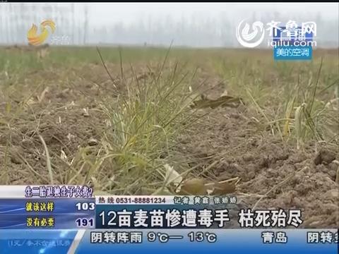 济阳一家农户12亩麦苗惨遭毒手 枯死殆尽