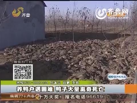 沂水:养鸭户遇困难 鸭子大量离奇死亡