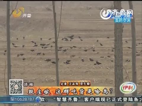 济南:毁庄稼 这群吃货是啥鸟?