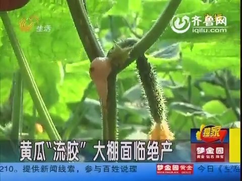 """寿光:黄瓜""""流胶""""大棚面临绝产"""