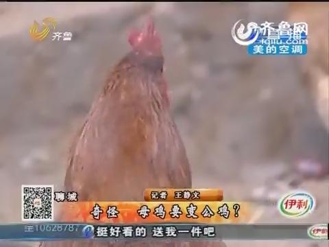聊城:奇怪!母鸡要变公鸡