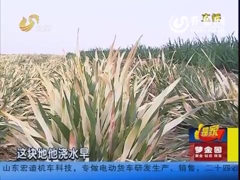 """潍坊:浇完一次水 麦苗变""""枯草"""""""