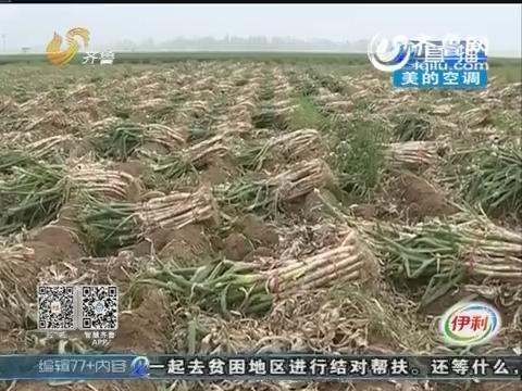枣庄滕州农户发善心 丰收大葱免费送