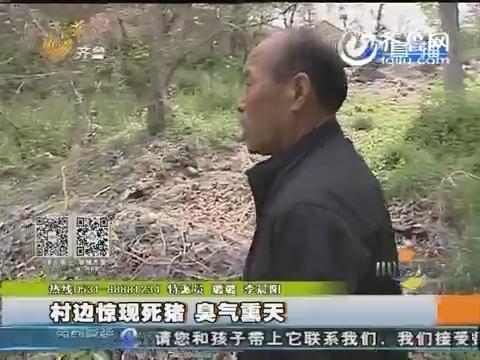 潍坊村边惊现死猪 臭气熏天