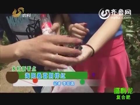 乡村新看点:海阳桑葚别样红