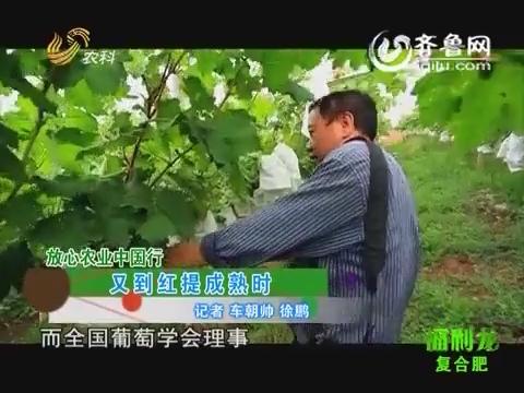 放心农业中国行:又到红提成熟时