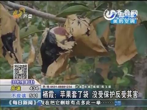 栖霞:苹果套了袋反受其害 果袋发黑果子腐烂