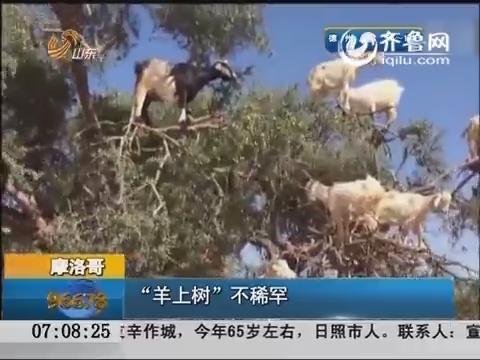 """摩洛哥:""""羊上树""""不稀罕"""