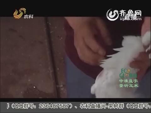 20151105《农科直播间》:好肉鸽是怎样养成的