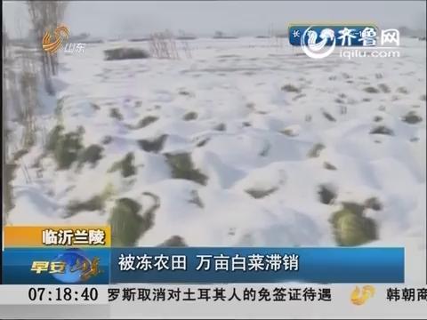 临沂兰陵:被冻农田 万亩白菜滞销