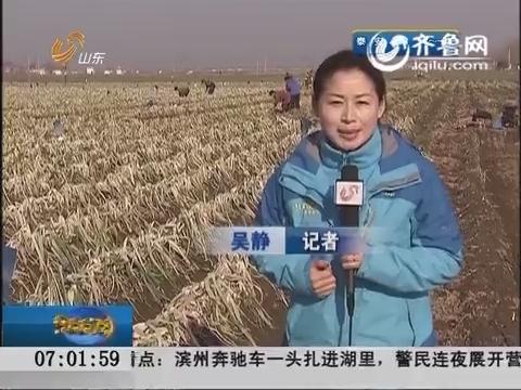 主播关注:章丘大葱产量下降近三成