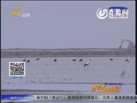 """利津:黄河三角洲自然保护区进入候鸟迁徙""""黄金季"""""""