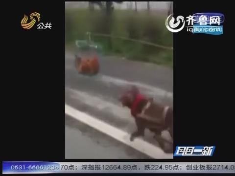 主人自制永动车 活鸡诱狗往前跑